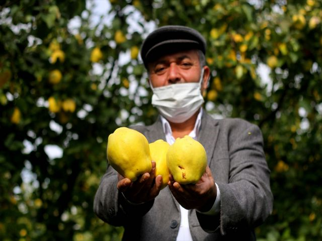 Kahramanmaraş'ta Şahinkaya ayvası 10 ülkeye ihraç ediliyor