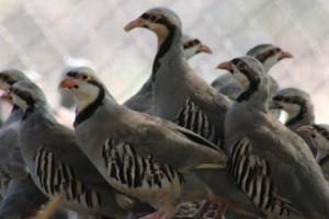 2020 yılında Kahramanmaraş'ta 15 bin kınalı keklik üretildi