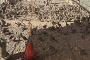 2021 yılında Kahramanmaraş'ta 15 bin kınalı keklik üretildi