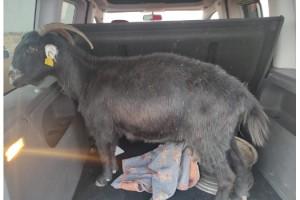 Hırsızları bagajdaki keçi yakalattı